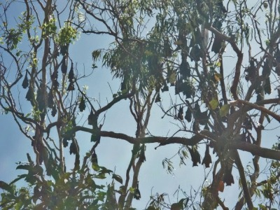 cairns, queensland, bats, australia