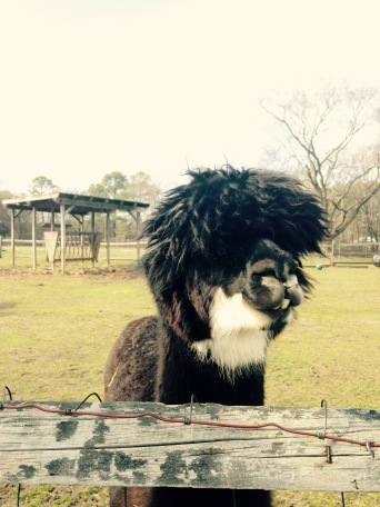 bluebird gap farm, hampton virginia, petting zoo, alpaca